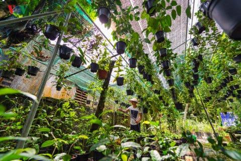 Anh Lê Hoàng Phú, sinh năm 1990 ở Phú Vang – tỉnh Thừa Thiên Huế hiện đang sở hữu khu vườn rộng 2000m2 trồng hoa và cây ăn quả các loại, trong đó, anh dành nửa diện tích khu vườn để trồng các loại hoa mà mình yêu thích, đặc biệt là hoa Cẩm cù.