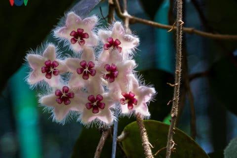 Loài hoa Cẩm cù có kiểu cách đơm hoa rất ấn tượng.