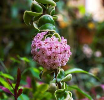 Cẩm cù phát triển mạnh mẽ và cho hoa nhiều nhất vào mùa Xuân – Hè.