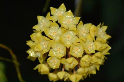 Đêm đến là lúc mà những bông hoa Cẩm cù khoe sắc toả hương mạnh mẽ nhất.