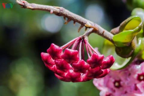 Nụ của loài hoa này cũng đẹp một cách quyến rũ.