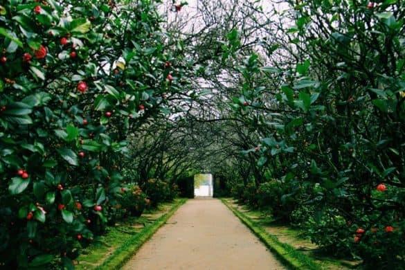 Qua Kim Long, bạn hãy dừng bước chân ở nhà vườn An Hiên. Mùa đông cũng là mùa hoa hải đường lập lòe ánh lửa. Không chỉ vậy, trước Tết Âm lịch 2-3 tuần, hoa mơ cũng sẽ xòe cánh .