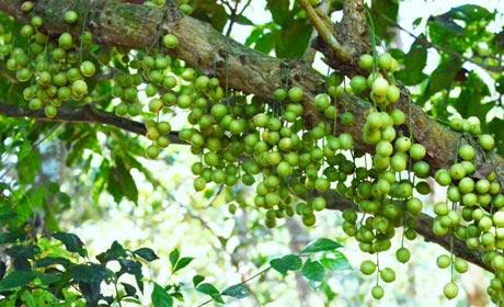 Sau đận sương muối, cả thôn Đồng Xuân giờ chỉ có nhà ông Trung còn một hai gốc dâu cho trái tàm tạm.