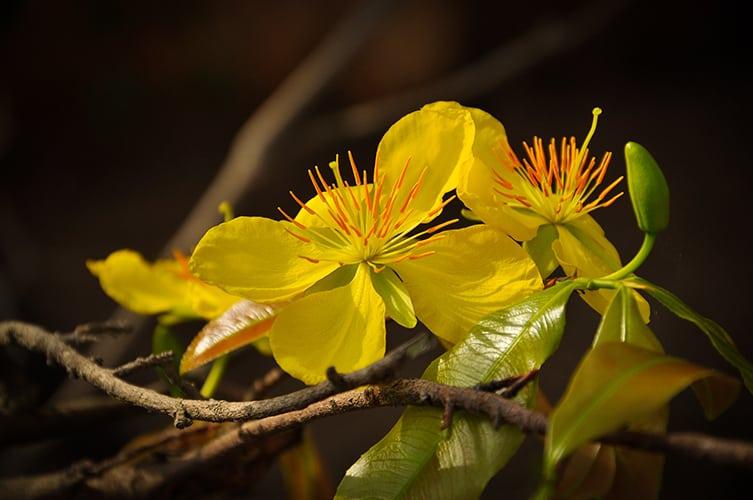 Cây Hoàng mai - Hoa mai Huế
