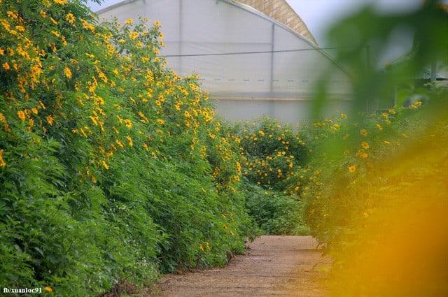 """Mê mẩn những cung đường """"săn"""" hoa dã quỳ đẹp nhất Việt Nam"""