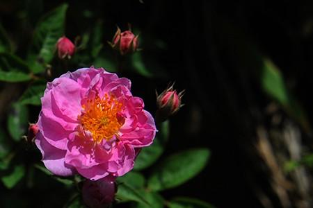 Những cây bông hồng dại được người Pháp mang lên đây trồng trước đây.