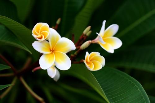 Tháng 4 về, hoa sứ tinh khôi khoe hương sắc quyến rũ 167