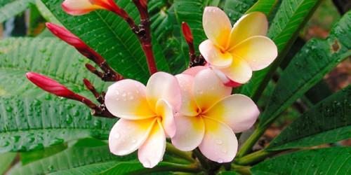 Tháng 4 về, hoa sứ tinh khôi khoe hương sắc quyến rũ 169