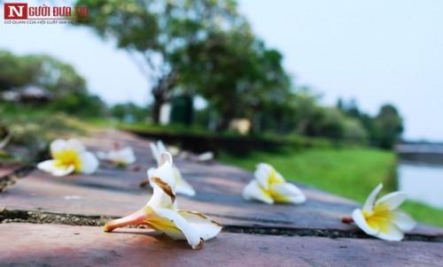 Tháng 4 về, hoa sứ tinh khôi khoe hương sắc quyến rũ 171