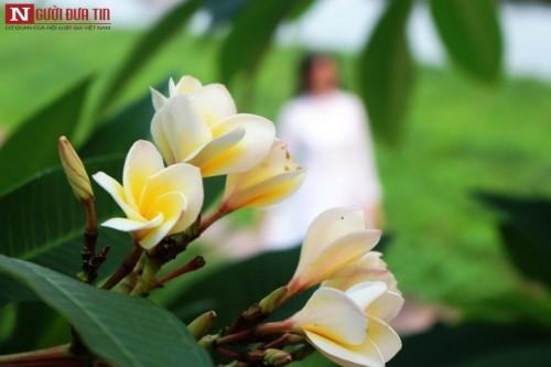 Tháng 4 về, hoa sứ tinh khôi khoe hương sắc quyến rũ 153