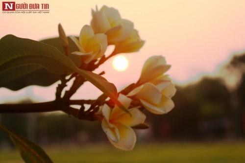 Tháng 4 về, hoa sứ tinh khôi khoe hương sắc quyến rũ 157