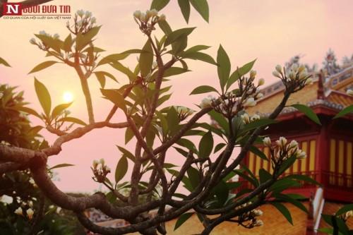 Tháng 4 về, hoa sứ tinh khôi khoe hương sắc quyến rũ 159