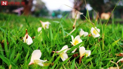 Tháng 4 về, hoa sứ tinh khôi khoe hương sắc quyến rũ 163