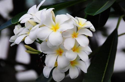 Tháng 4 về, hoa sứ tinh khôi khoe hương sắc quyến rũ 165
