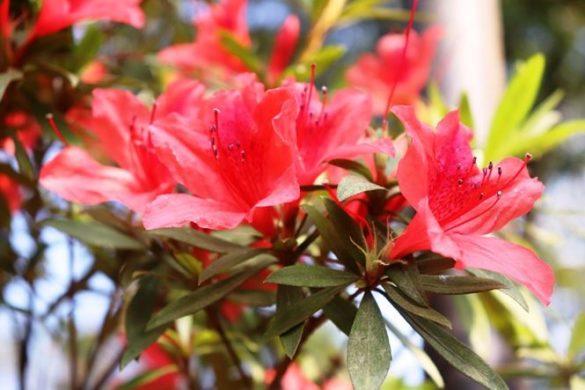 Hoa đỗ quyên đỏ Bạch Mã