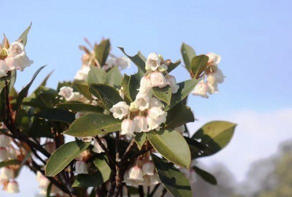 Hoa đỗ quyên Bạch Mã khác lạ với những loài đỗ quyên thường thấy