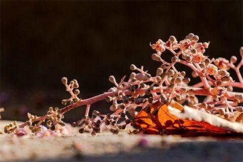Cận cảnh chùm hoa ngô đồng trong nắng