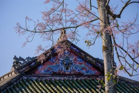 Đại Nội Huế gần như là nơi duy nhất tại Việt Nam có những cây ngô đồng đặc biệt với màu hoa đẹp mê hồn
