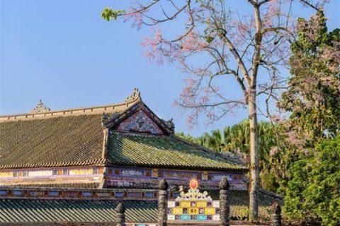 Du khách đi dạo dưới những tán hoa ngô đồng trong Hoàng Thành Huế