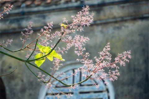Màu hoa ngô đồng đặc trưng bởi sắc hồng phấn nhẹ nhàng