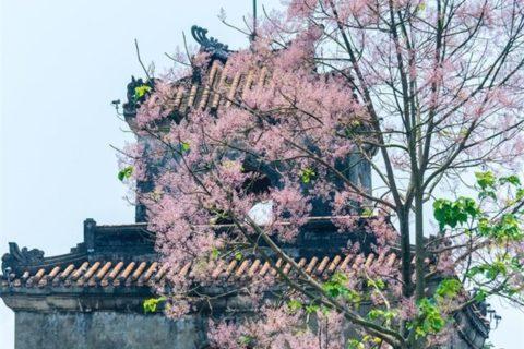 Cây hoa ngô đồng nở ra những thảm hoa đẹp mê ly