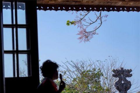 Ngắm hoa ngô đồng từ Điện Thái Hòa