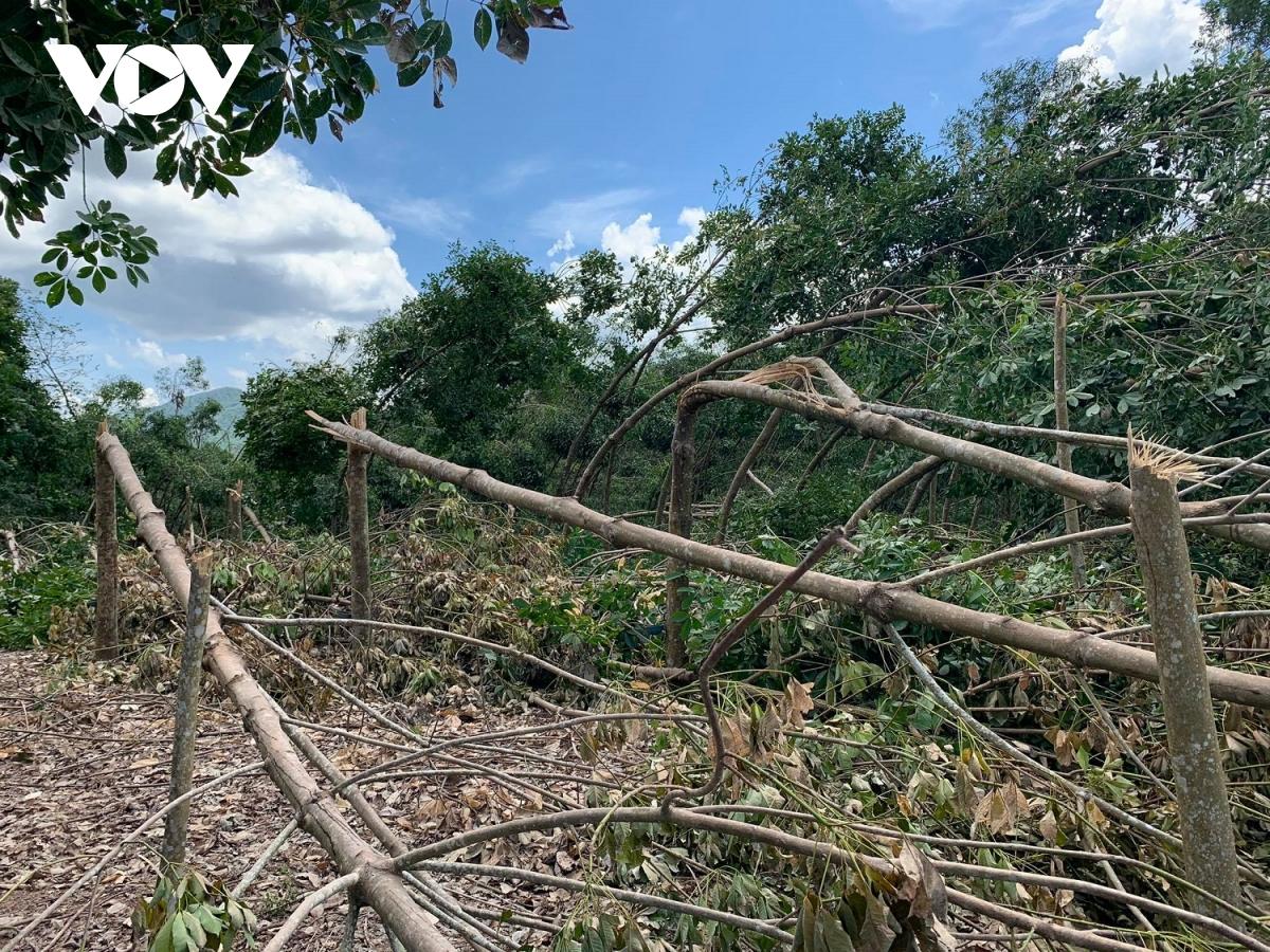 Nước mắt của người trồng cao su rơi sau bão số 5 152