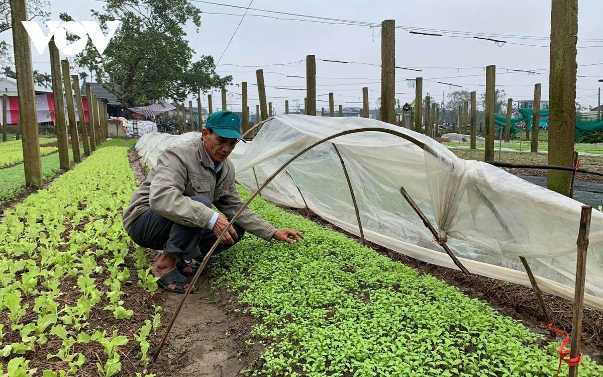 Xanh lại những vườn rau, luống cà nơi vùng lũ Thừa Thiên-Huế